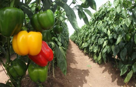 mixed colored peppers growing in a greenhouse